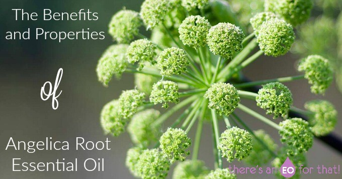 The Properties of angelica root essential oil and its uses.