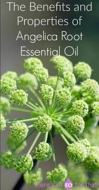 The Benefits and Properties of Angelica Root Essential Oil - Learn why this EO is called Angel's Herb and how it was used therapeutically for coughs, digestion, nervousness, and anxiety.