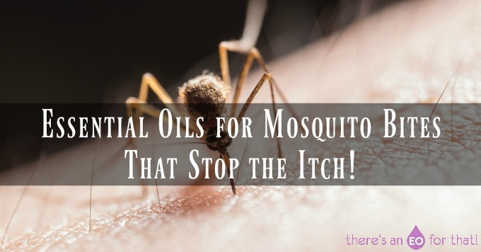A biting mosquito - essential oils for mosquito bites that actually work